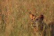 canvas print picture - Lion (Panthera leo) female staying hidden in dry grass in south african safari.