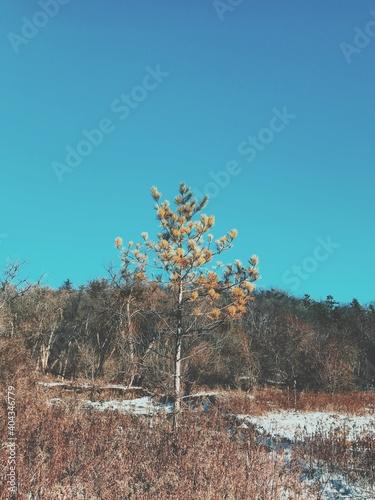 Fototapeta premium Trees Against Clear Blue Sky