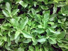 Full Frame Shot Of Holy Basil With Green Leaves