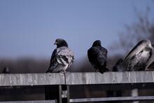 Bird, Pigeon, Animal, Dove, Nature, Crow, Feather, Wildlife, Birds, Beak, Raven, Gray, Black, Grey, Wing, Feathers, Wild, Animals, Park, City, Wings, Water