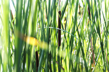 Growing Near Lake Wild Typha As Bulrush Or Reedmace, Reed, Cattail,or Punks, Cumbungi Or Bulrush, Cattail, Raupo To Make Medicine For Traditional Medicine