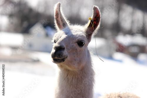 Fototapeta premium Close-up Portrait Of Lama