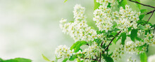 Horizontal Banner With Bird Cherry Tree In Blossom. Floral Background. Flowers Of Bird-cherry Tree In The Nature. Copy Space. Soft Focus - Image