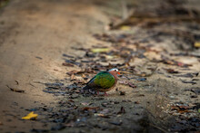 Common Emerald Or Grey Capped Or Green Winged Dove Or Pigeon Portrait Or Closeup On Ground During Winter Safari At Jim Corbett National Park Or Tiger Reserve Uttarakhand India