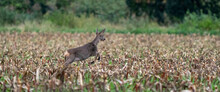 Panorama Of A Running Deer In A Freshly Mowed Corn Field With Forest In The Background. Long Cover Or Social Media