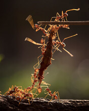 Extreme Close-up Of Red Ants On Plant