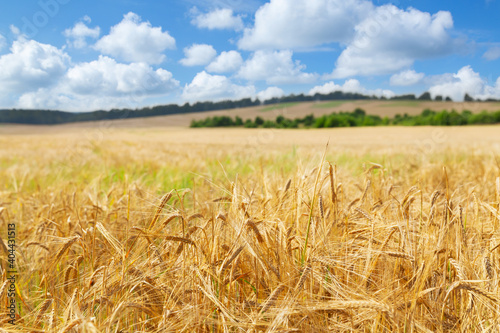 Obraz Field of barley. Close up of barley ears in a field - fototapety do salonu