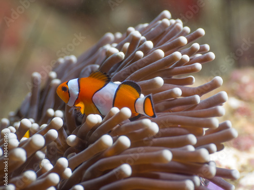 Fotografia False Clown anemonefish in a sea anemone (Mergui archipelago, Myanmar)