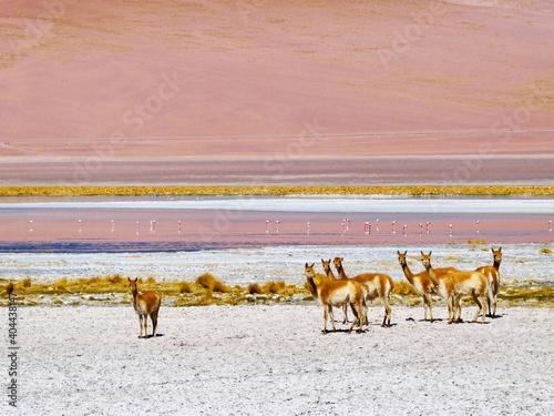 Fototapeta premium Llamas And Flamingos Against Sky In Lake During Winter