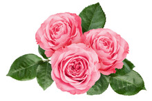 Pink Rose Isolated On White Background, Clipping Path, Full Depth Of Field