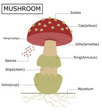 Structure Of A Amanita Mushroom.Anatomy Of The Fungus.