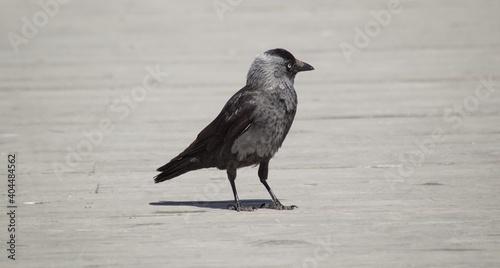 Fototapeta premium Black Bird Perching On A Land