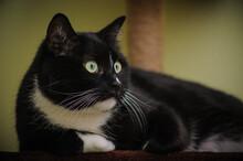 Primo Piano Di Gatto Bicolore Nero E Bianco Accovacciato