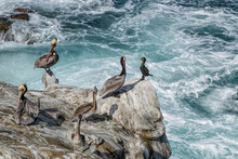 A Cormorant Asks Permission To Join A Group Of Brown Pelicans, La Jolla, California