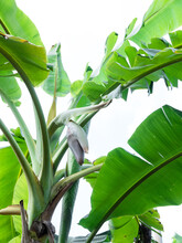Banana Blossom Hang From Banana Tree In Garden,high Protein Nutrition For Vegan