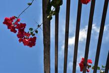 Pink Bougainvillea Flowers On Wood Trellis Against Blue Sky