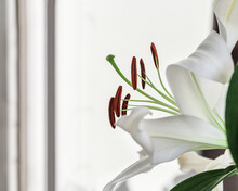 Beautiful Floral Background From White Lilies With  Stamens And Pistil. Tender Flowers Petals Close Up. Natural Flower Backdrop.