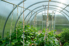 These Ropes Are Designed To Guide The Growth Of Tomatoes And Are Located In The Greenhouse