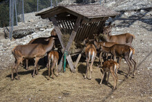 A Herd Of Deer Near A Hay Trough On The Mountainside