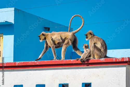 Obraz na plátně Wild animals in the city in India: two gray langur females (Semnopithecus dussumieri) with monkey babies invade a rooftop in Udaipur