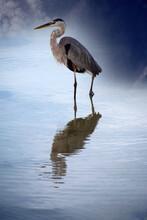 Great Blue Heron On The Beach