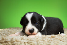 Cute Tiny Border Collie Dog Puppy Lying Down On A Fluffy Carpet Against A Colorful Background In A Studio