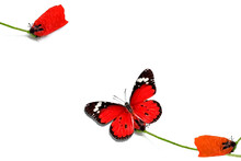 Single Red Petal On Corolla Of The Poppy Flower Steam. Red Butterfly. Isolated On White. Minimalist Style Photo Image. Minimalism Natural Visual Concept