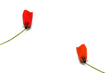 Single Red Petal On Corolla Of The Poppy Flower Steam. Isolated On White. Minimalist Style Photo Image. Minimalism Natural Visual Concept