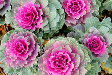 Photo Of Ornamental Cabbage Leaves Close-up