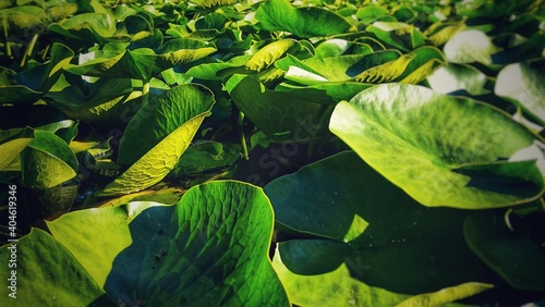 Fototapeta High Angle View Of Water Lilies In Pond