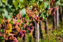 Reife Weintrauben An Der Rebe