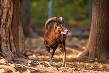 A Young Male Mouflon (Ovis Gmelini Musimon)