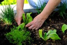 Woman Is Planting A Salad. Female Farm Worker Hand Harvesting Green Fresh Ripe Organic Salad In Garden Bed.