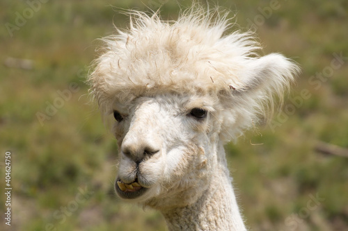 Fototapeta premium Close-up Of A Alpaca