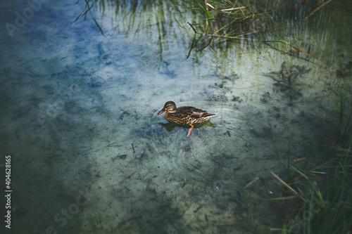 Kaczka krzyżówka pływająca w stawie