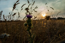 Close-up Of Purple Flowering Plants On Field During Sunset