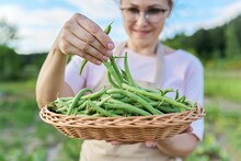 Close Up Of Fresh Plucked Green String Beans In Basket In Woman Hands