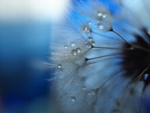 Close-up Of Raindrops On Dandelion