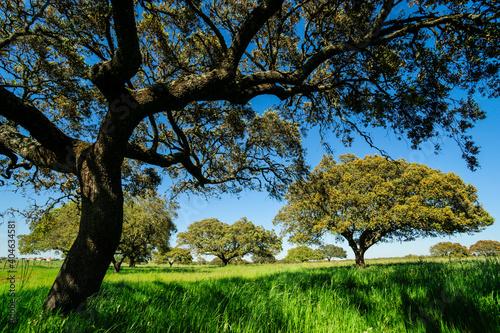 Fotografie, Obraz dehesa de alcornoques, distrito de Santarem, Medio Tejo, region centro, Portugal