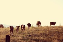 Cattle On Field Against Clear Sky