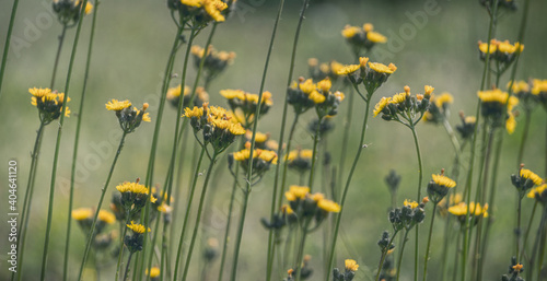 Fotografie, Obraz Yellow flowers of a field sow thistle against the backdrop of a sunny summer mea