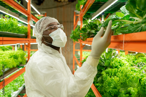 Young African male agroengineer in workwear looking at green spinach seedlings Fototapeta