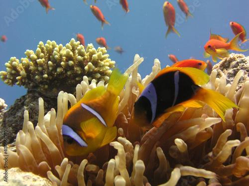 nemo fish in anemone Fototapet