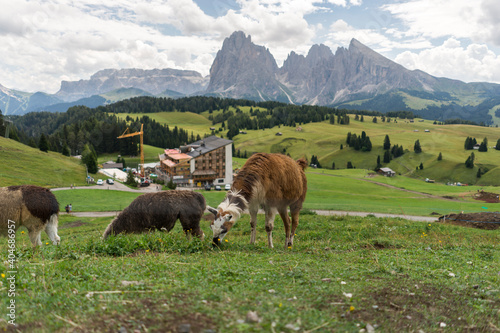 Fototapeta premium Animal Grazing In A Field