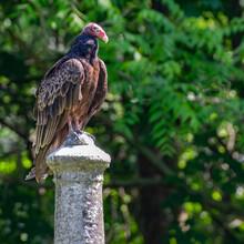 Perched Turkey Vulture