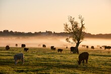 Cows And Calves Grazing On Grass Against Sky