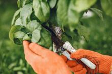 Woman Gathers Fresh Kitchen Herbs In The Garden. Hand In A Orange Gloves.