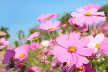 Pink Cosmos Flowers Is Blooming In The Garden With Morning Sunshine.