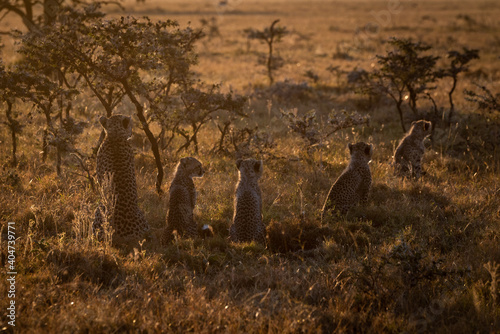 Fotografia, Obraz Rear View Of Cheetahs Sitting On Grassy Field During Sunset