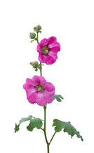 Isolated Pink Hollyhock Flowers (Althaea Rosea) On White Background